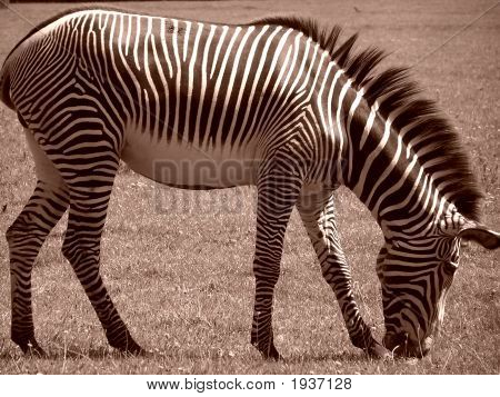 Zebra Eating In Sepia