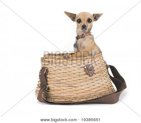 tiny chihuahua in a fishing creel
