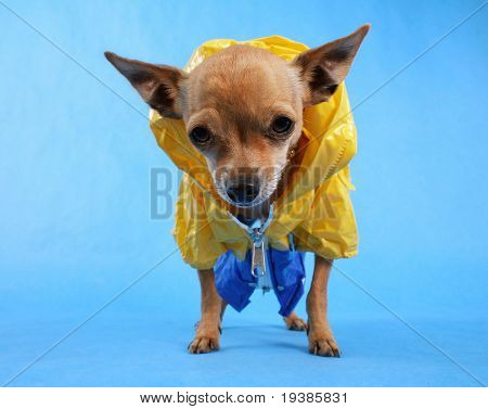 a tiny chihuahua with a rain coat on with the focus on his nose