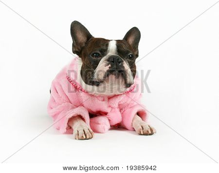 a boston terrier dressed in a pink coat