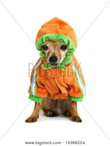 chihuahua with a little hoodie on