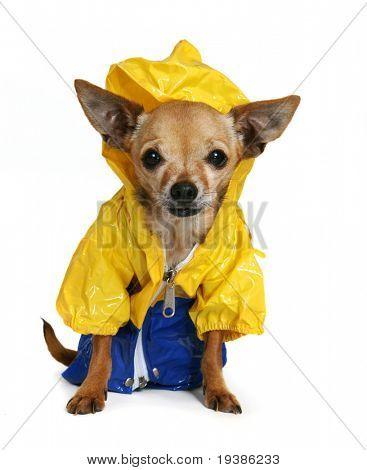 chihuahua minúsculo vestido em uma capa de chuva