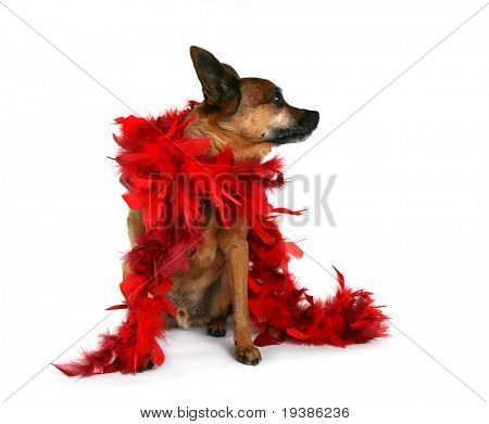 chihuahua mix in with a red boa on