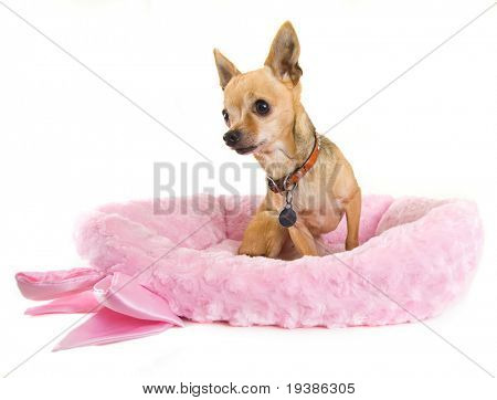 a tiny chihuahua in a cute pink bed