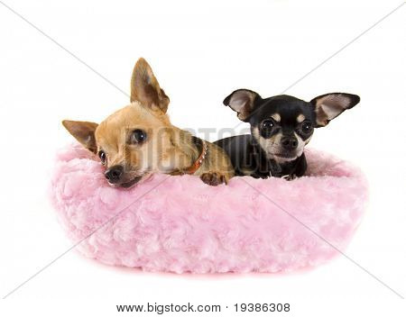 two tiny chihuahuas in a cute pink bed