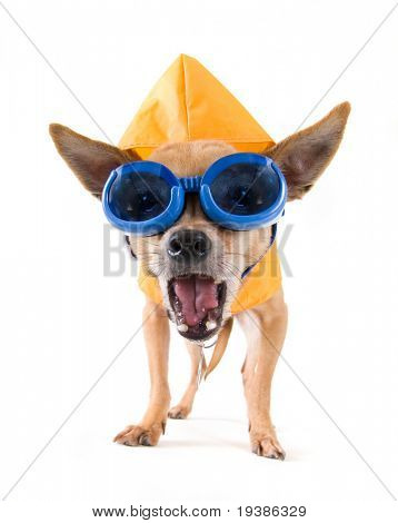 a tiny chihuahua with a raincoat and goggles on
