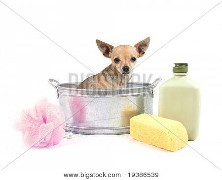 tiny chihuahua in a small metal bathtub
