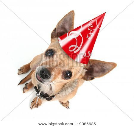 a chihuahua with a birthday hat on