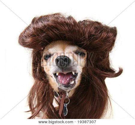 small chihuahua in a funny wig costume