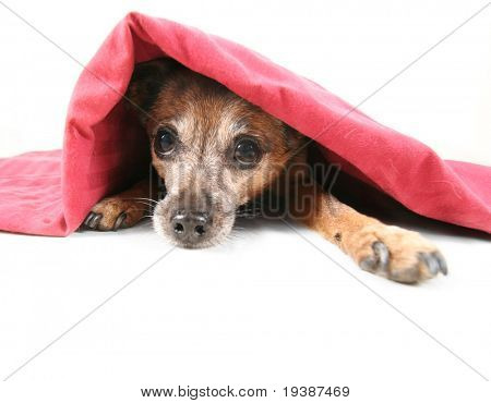a chihuahua mix dog under a blanket