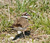 picture of killdeer  - A killdeer looking over its shoulder while walking through grass - JPG