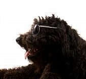 pic of parti poodle  - image of a black poodle on white - JPG