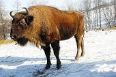 stock photo of aurochs  - Big wild bisons in the winter forest - JPG