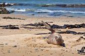 Angry Sea Lion - New Zealand