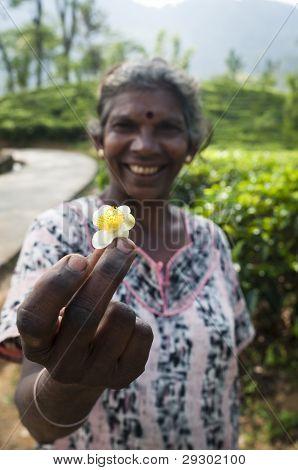 Flor de té en mano del selector de té tradicional