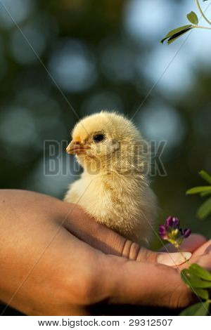 chicken in his hand