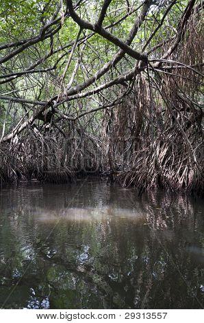 Mangrove tangle