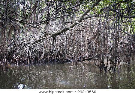 Mangrove-Wirrwarr