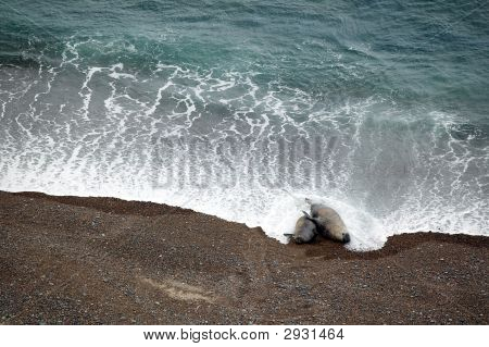 Copulating Couple Of Seals On The Beach