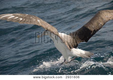Albatros aterrizando en el mar