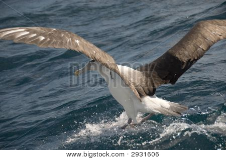 Albatross Landung im Meer