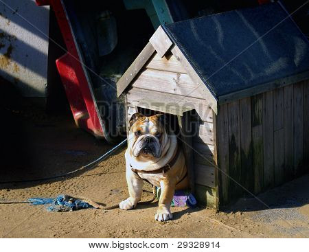 Bulldog tethered with rope