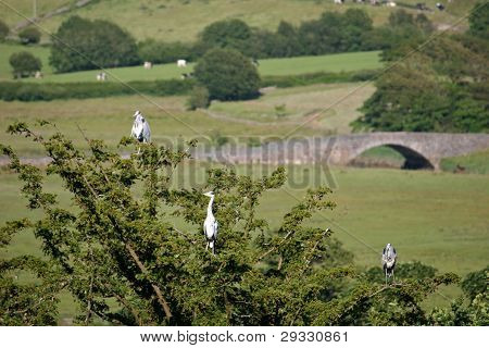 Roosting Herons