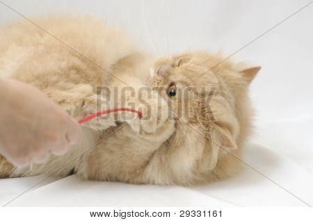 Playing Persian Cat