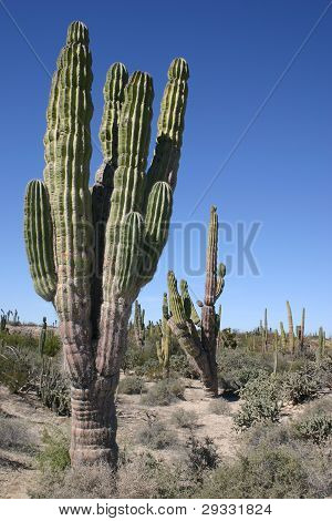 giant Cardon cactus in the desert of Southern Baja, Mexico