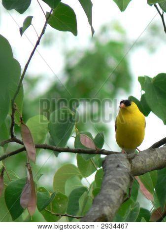 Goldfinch In Redbud Tree