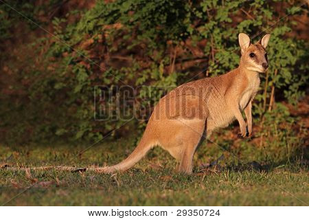 Wallaby ágil