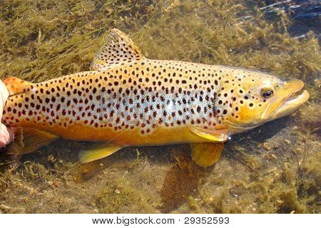 Big beautiful fish caught fly fishing prior to release