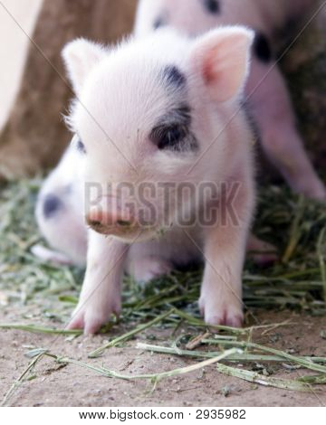 Una semana de edad pequeña Fuzzy Baby Piglet