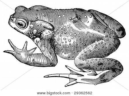 Toad Frog Vintage Illustration