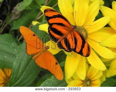 Banded Orange  Julia