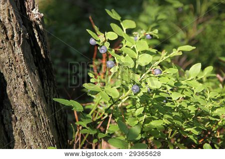 Bushes Of Blueberries In A Forest