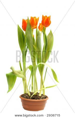 Orange Tulips In Pot