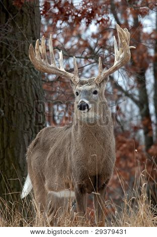 Big whitetail deer