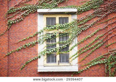 Wall and window covered by green ivy.