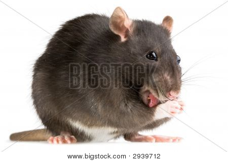 Rat Washing