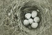 White Wagtails Nest (motacilla Alba) Under Stone poster