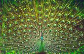 Amazing peacock tail, beautiful colorful bird feathers, abstract natural background, beauty of a wil poster