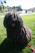 Puli Dog.  The Puli is a small-medium breed of Hungarian herding and livestock guarding dog known fo poster