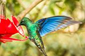 Saphire-wing Hummingbird With Outstretched Wings,tropical Forest,colombia,bird Hovering Next To Red  poster