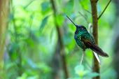 White-tailed Starfrontlet Sitting On Branch, Hummingbird From Tropical Forest,colombia,bird Perching poster