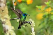 Green Violet-ear Sitting On Branch, Hummingbird From Tropical Forest,ecuador,bird Perching,tiny Bird poster