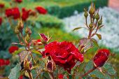 Red Rose On The Branch In The Garden. Red Rose On Green Branch. Flowering Red Roses In The Garden. B poster