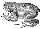 pic of naturalist  - The common toad vintage illustration - JPG
