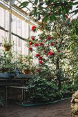 Vertical Photo Of The Blooming Colorful Red Rhododendron Flowers In Hothouse. Evergreen Heather Plan poster