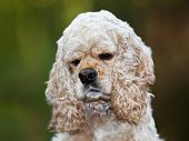 stock photo of hirsutes  - American Cocker Spaniel  - JPG
